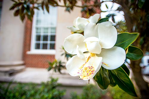 Sugar Magnolia on Tulane Campus